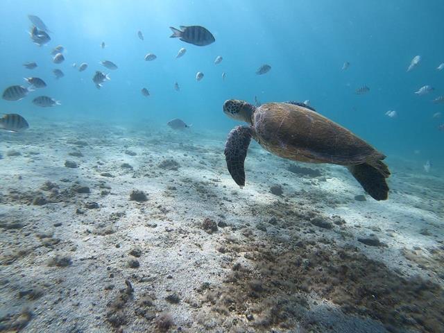 Tartaruga na lagoa azul